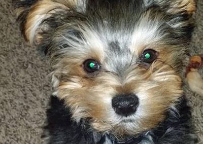 morkie puppy morkies staring into the camera