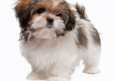 morkie puppy morkies looking cute as can be