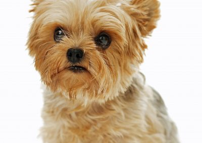 Yorkshire Terrier looking away sitting down