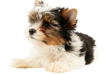 morkie puppy morkies with brown hair