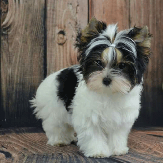 morkie puppy looking down as he poses
