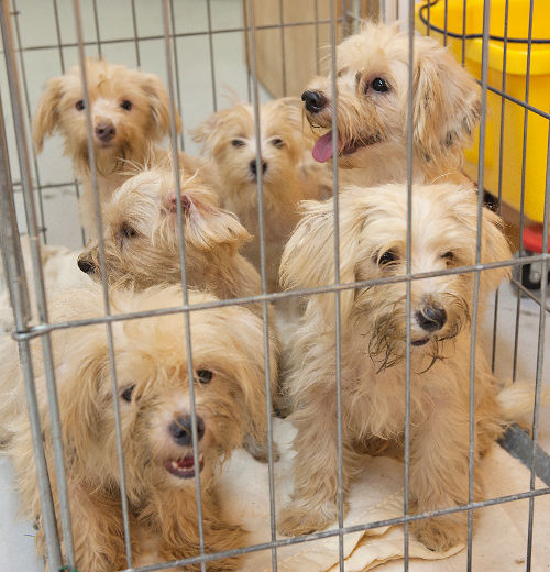 Morkies rescued from one of Ontario's puppy mills