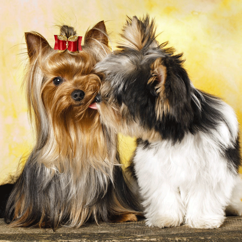 Morkies kissing