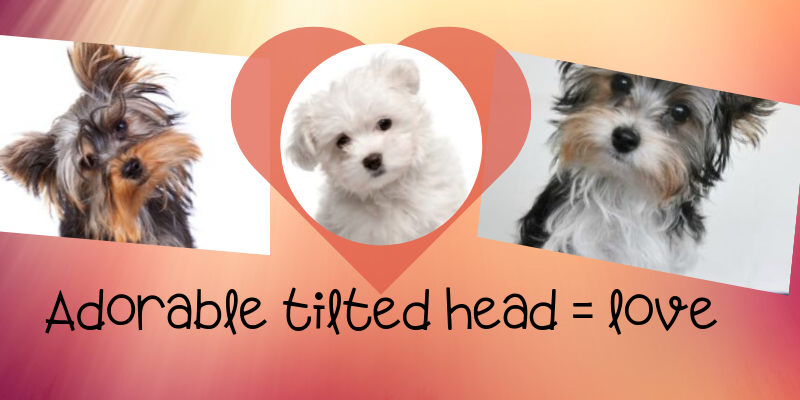 your dog's adorable tilted head is a sign he loves you