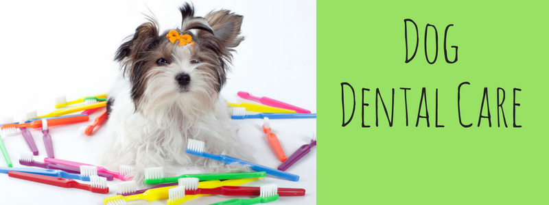 Morkie dog dental care