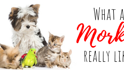 Morkie Temperament: What are Morkies Really Like?