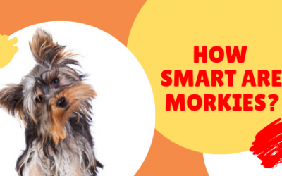 Smartest dog breeds: how smart is your Morkie?