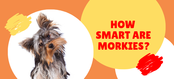 How smart are Morkie dogs?