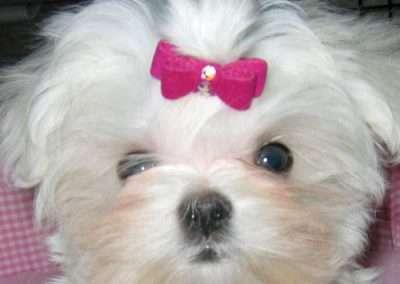 Maltese dogs Morkies1