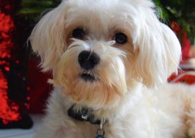 Maltese dogs Morkies12