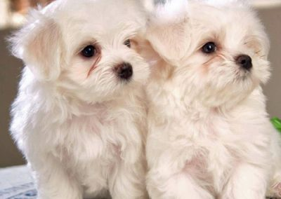 Maltese dogs Morkies14