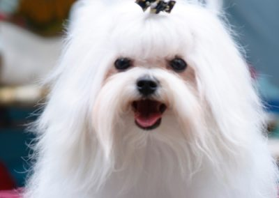 Maltese dogs Morkies16