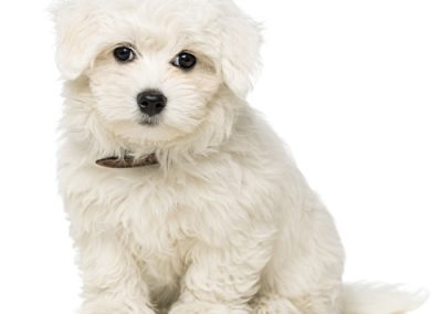 Maltese dogs Morkies17