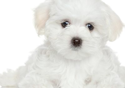 Maltese dogs Morkies18