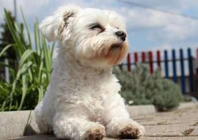 Maltese dogs Morkies2