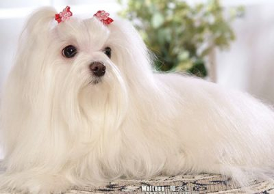 Maltese dogs Morkies20