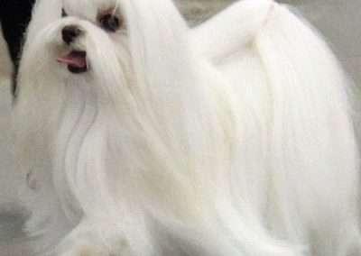 Maltese dogs Morkies