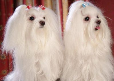 Maltese dogs Morkies22