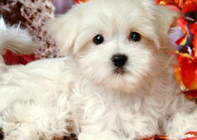 Maltese dogs Morkies24