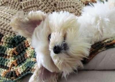 sleeping Maltese dog on a blanket