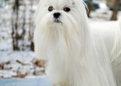 Maltese dogs Morkies28
