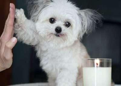 Maltese dogs Morkies29