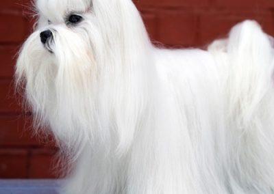 Maltese dogs Morkies3
