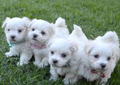 Maltese dogs Morkies puppies