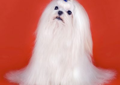 Maltese dogs Morkies31