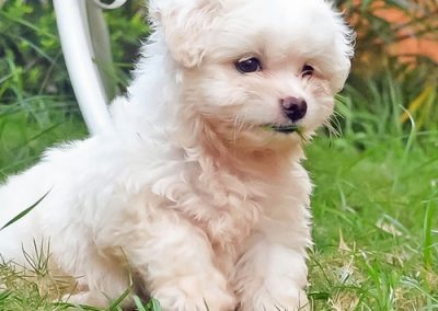 Maltese dogs Morkies32