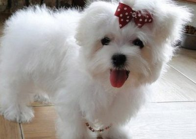 Maltese dogs Morkies4