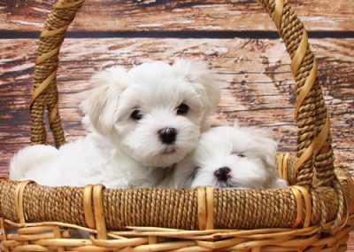 Maltese dogs Morkies7