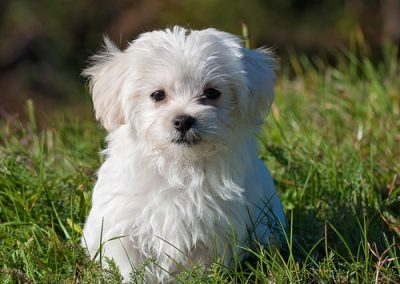 Maltese dogs Morkies8
