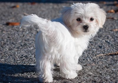Maltese dogs Morkies9