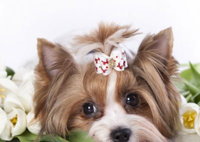 Morkie adult, morkies11