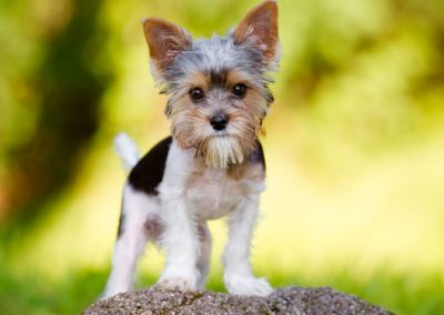 Morkie adult, morkies12