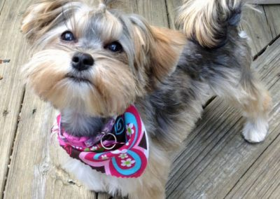 Morkie adult, morkies13