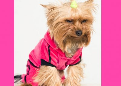 Morkie adult, morkies16