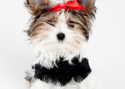 Morkie adult, morkies2