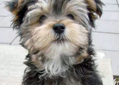 Morkie adult, morkies24