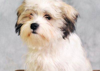 Morkie adult, morkies26