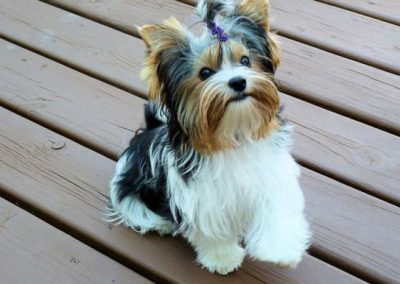 Morkie adult, morkies27