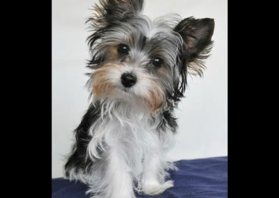 Morkie adult, morkies28
