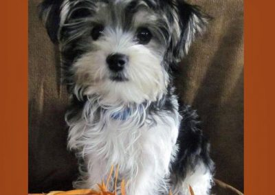 Morkie adult, morkies38