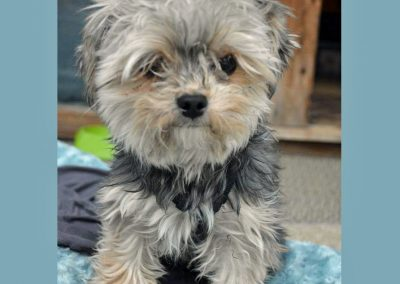 Morkie adult, morkies7