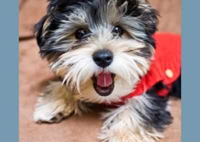 Morkie adult, morkies9