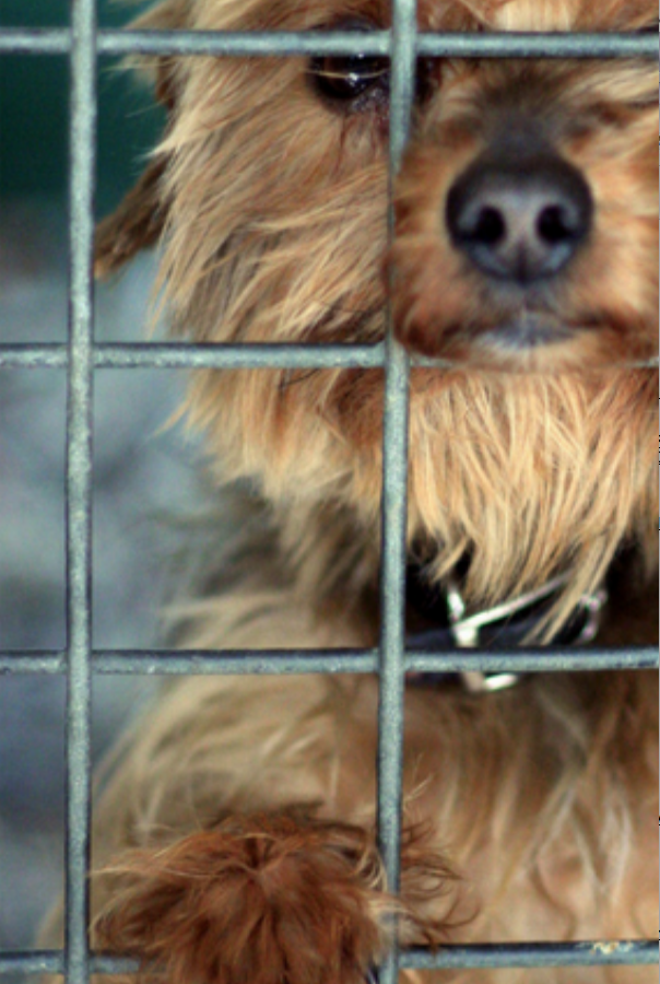 A puppy looking for a home at a Morkie Rescue club