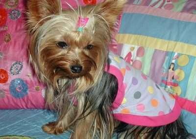 Yorkie Yorkshire Terrier in pink dress