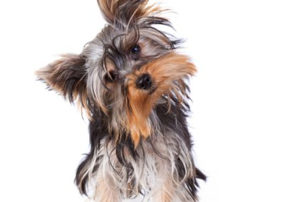 Yorkie Yorkshire Terrier looking quizzical