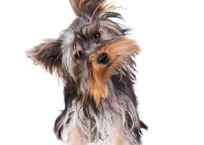 Yorkie Yorkshire Terrier 10